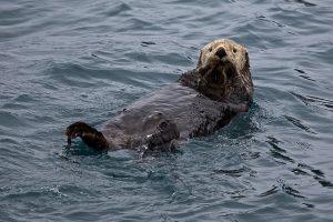 sea-otter-1405976_640